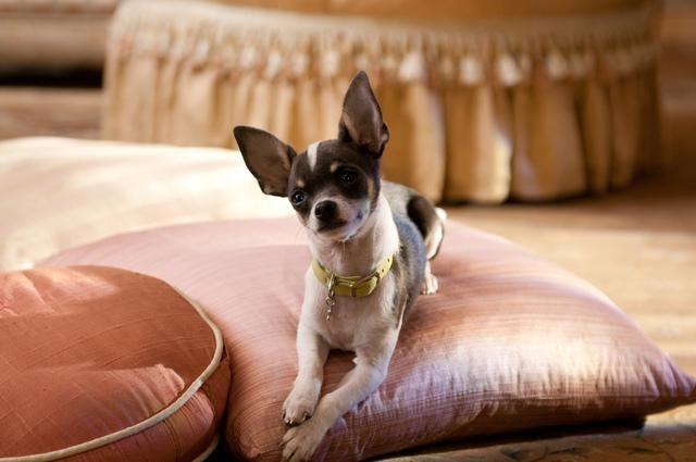 مشاهدة فيلم Beverly Hills Chihuahua 2 2011 HD مترجم كامل اون لاين